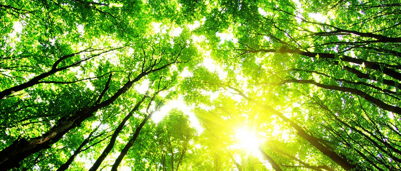 Tree Canopy with Sunlight